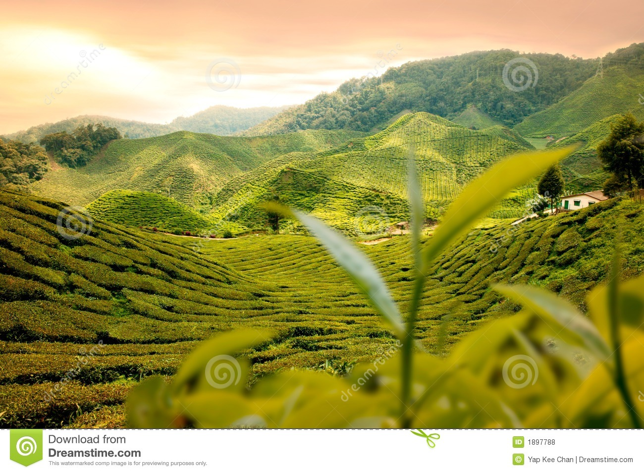 Tea Garden Stock Photo. Image Of Farm, Beautiful, House