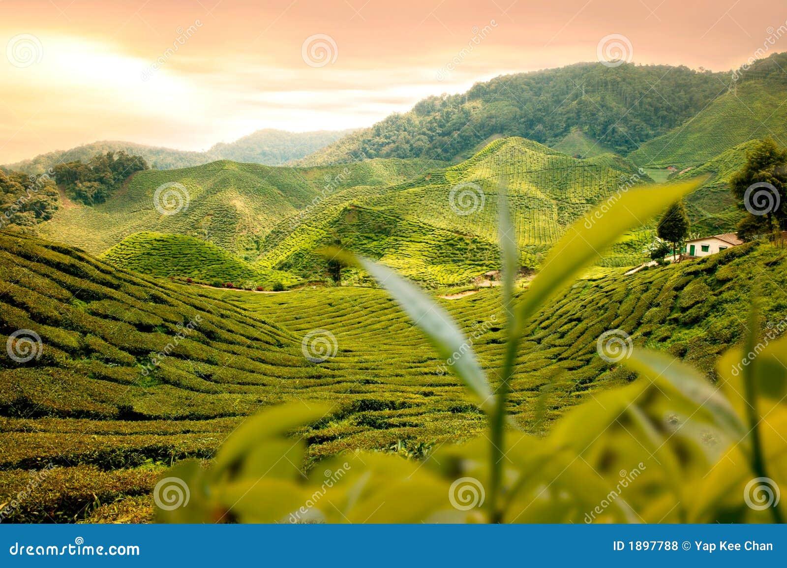 Nature Images 2mb: Tea Garden Stock Photo. Image Of Farm, Beautiful, House