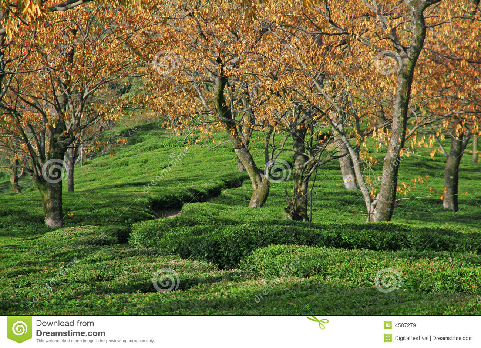 Kangra India  City new picture : Tea Garden Estates Of Kangra India Royalty Free Stock Images Image ...