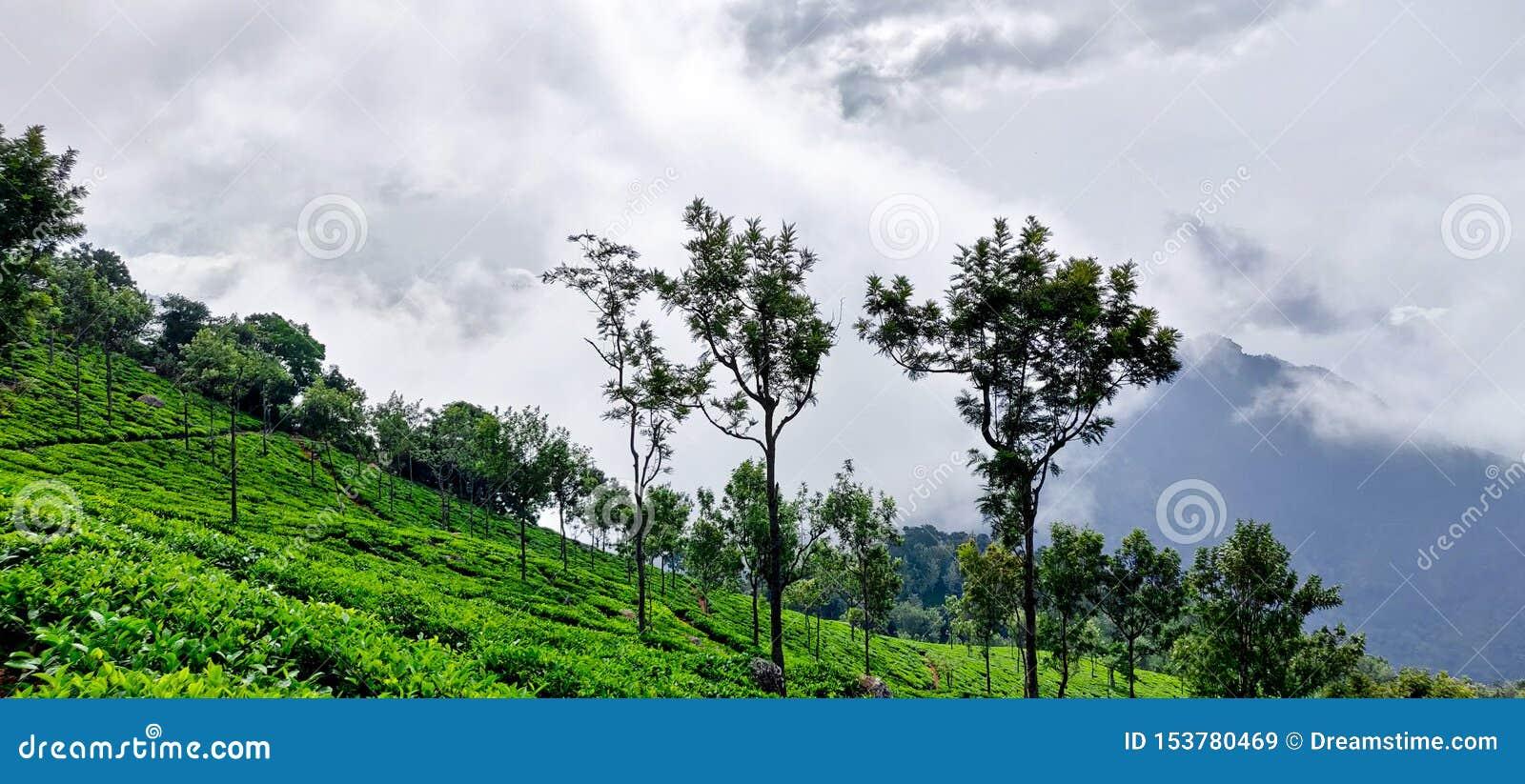 Tea garden on the hills of Coonoor under the rainy clouds of monsoon