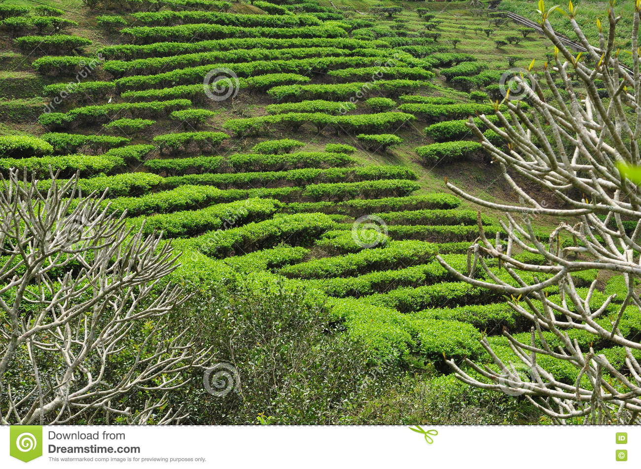 Download Tea Garden In Taiwan On A Hill Slope Stock Photo   Image Of  Traditional,