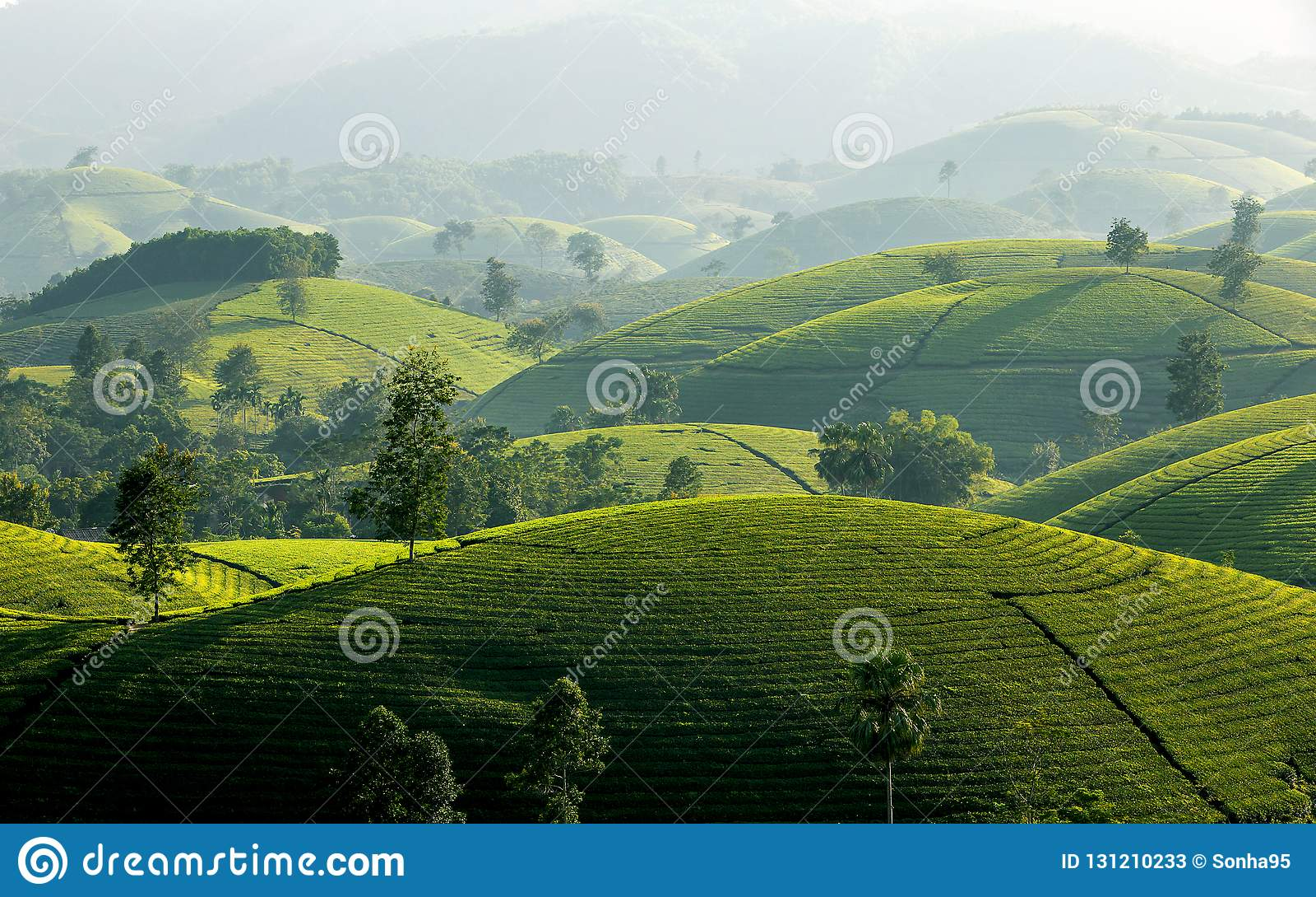Tea hills in Long Coc highland