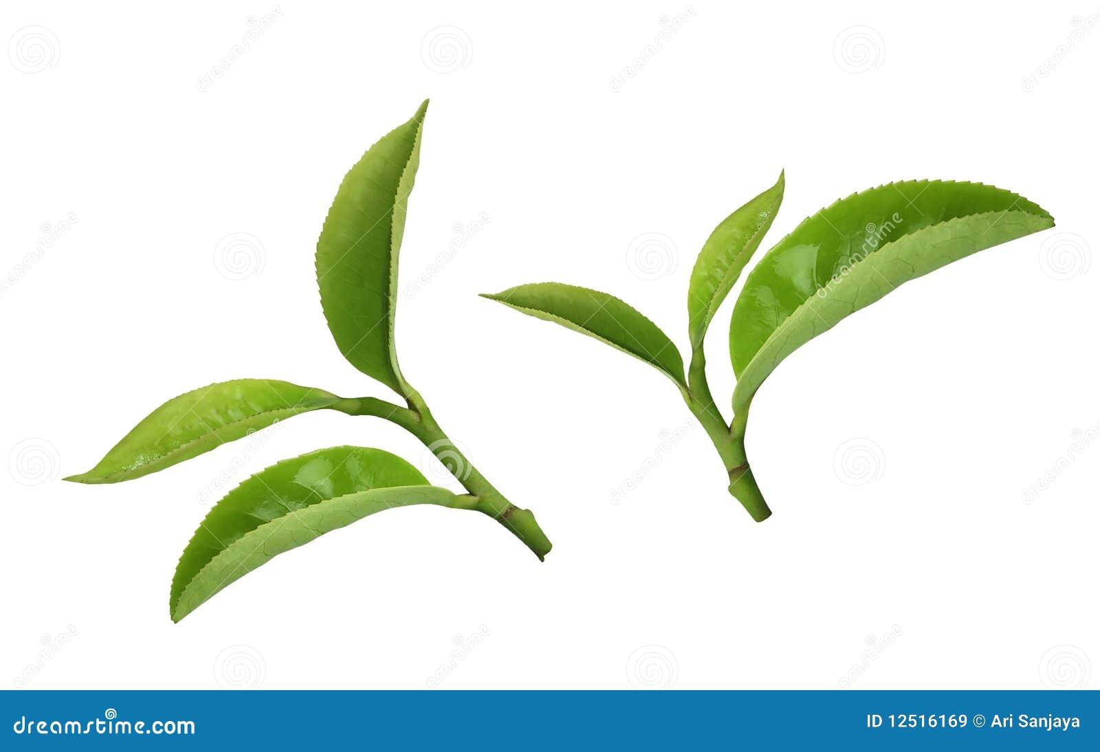 Tea Leaf Cartoon Vector Cartoondealer Com 9415271