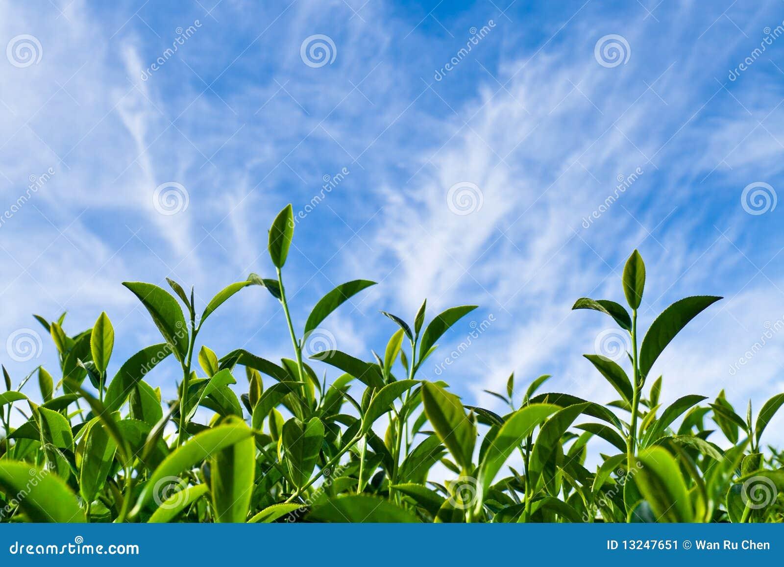 Tea Leaf As Blue Sky Stock Image - Image: 13247651