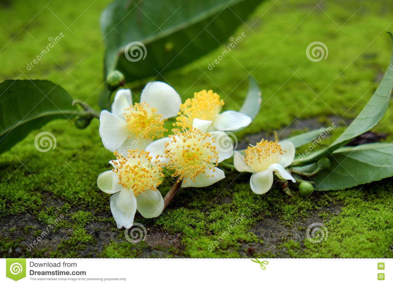 Tea Leaf And Tea Flower Stock Image Image Of Abstract 73721561