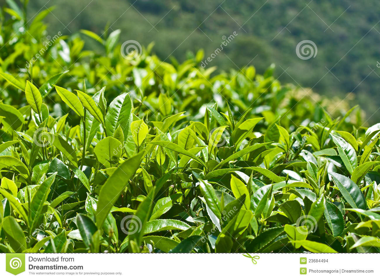 Tea Leaves on mountain plantations in Sri Lanka.