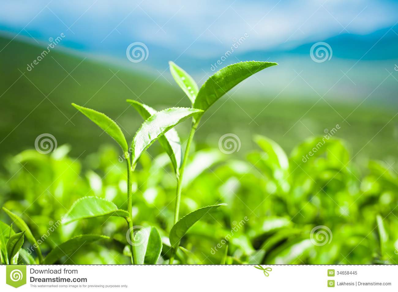 how to grow green tea in india