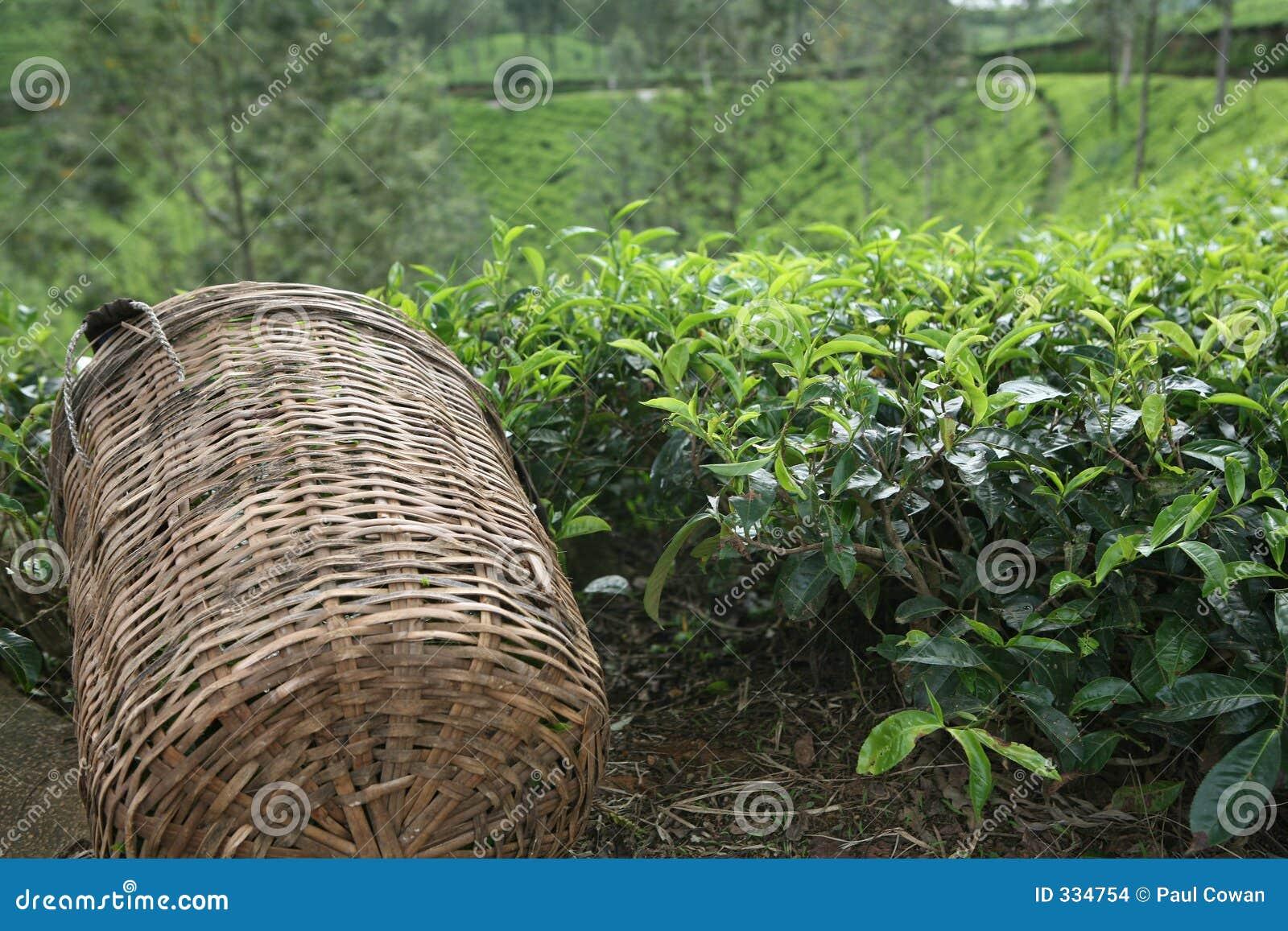 Tea picker s basket