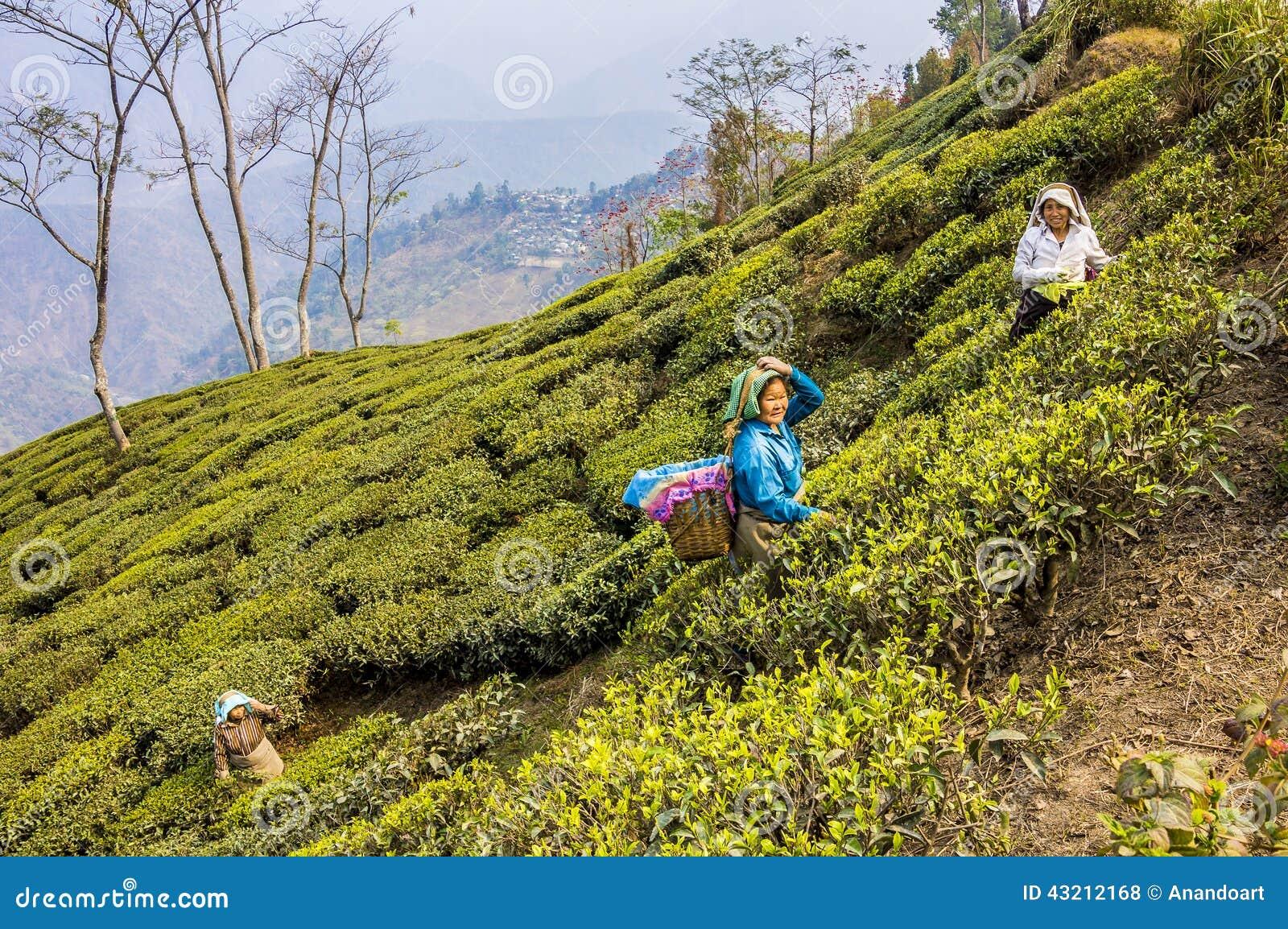 Tea pickers of darjeeling