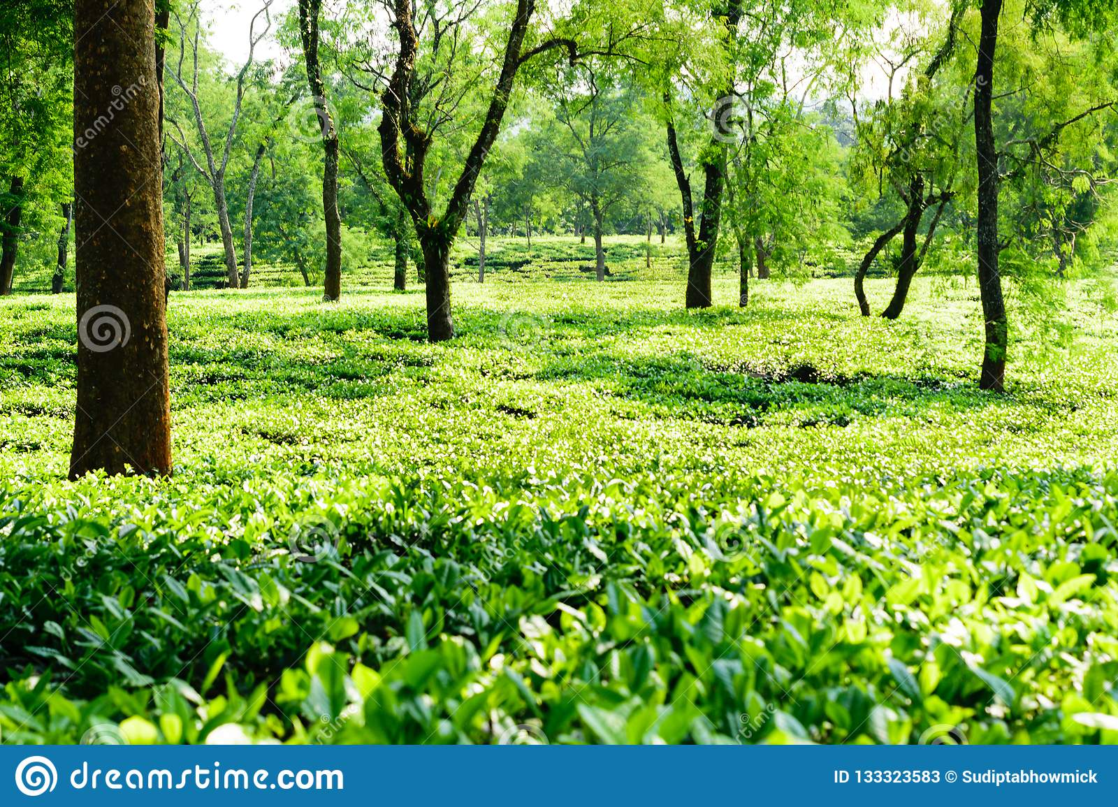 Tea Plantation In Asam India Stock Image - Image of branch ...