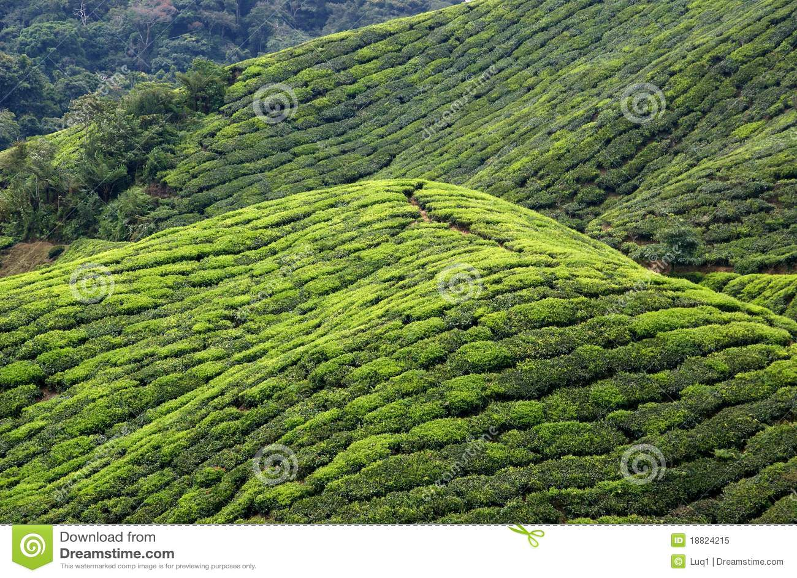 Tea Plantation, Cameron Highlands, Malaysia Stock Image ...