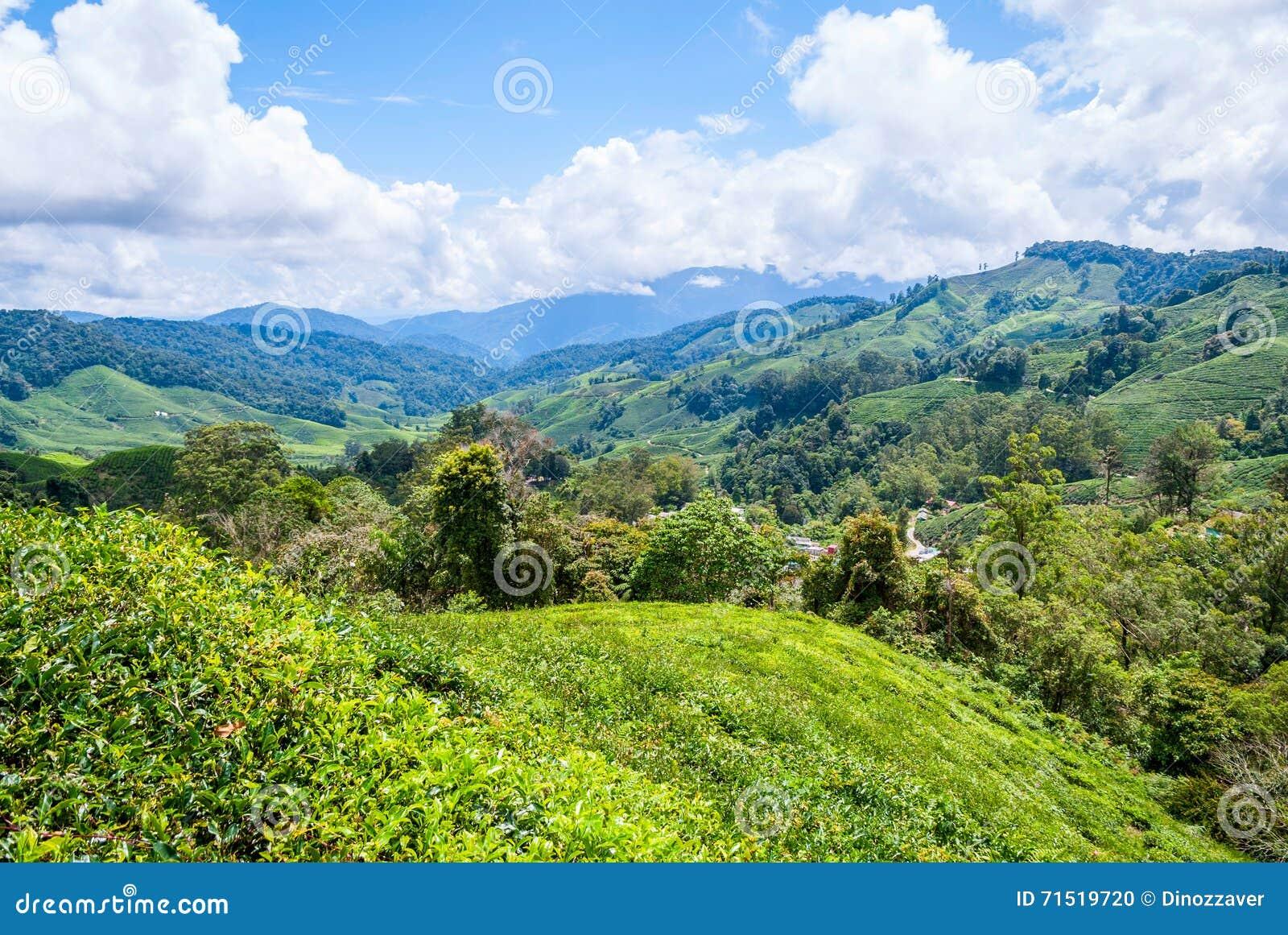 Tea Plantation In Cameron Highlands, Malaysia Stock Photo ...