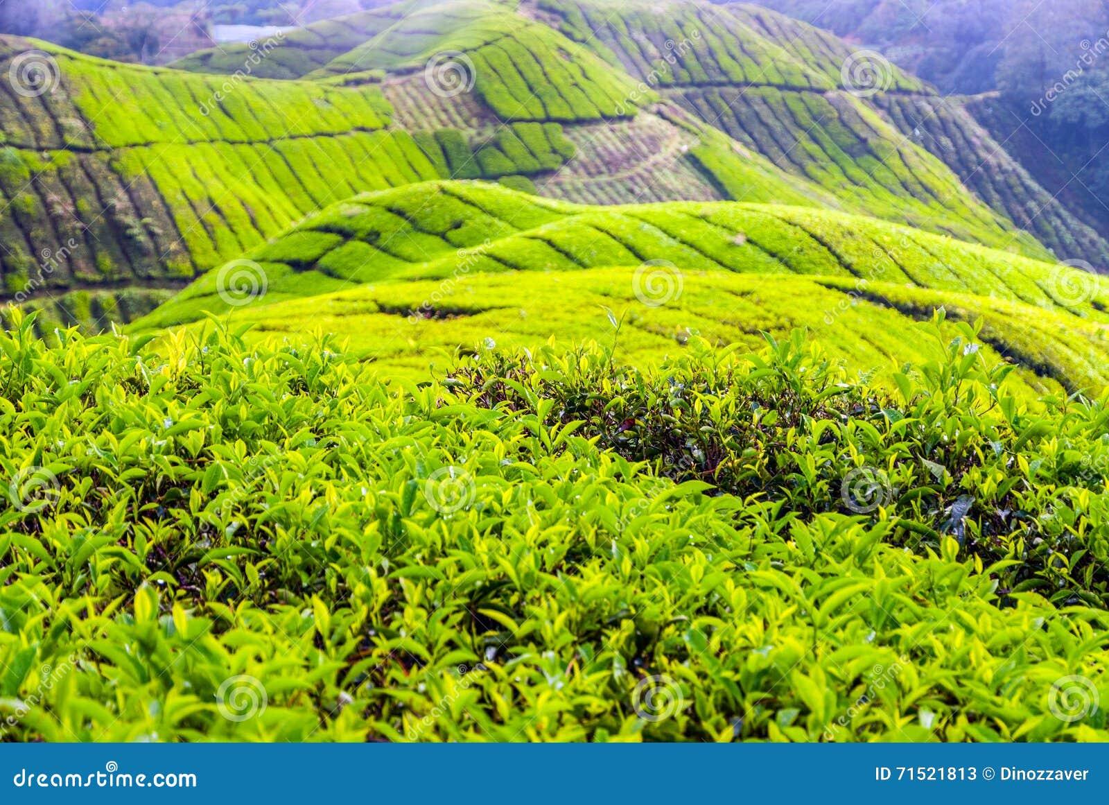 Tea Plantation In Cameron Highlands, Malaysia Stock Image ...