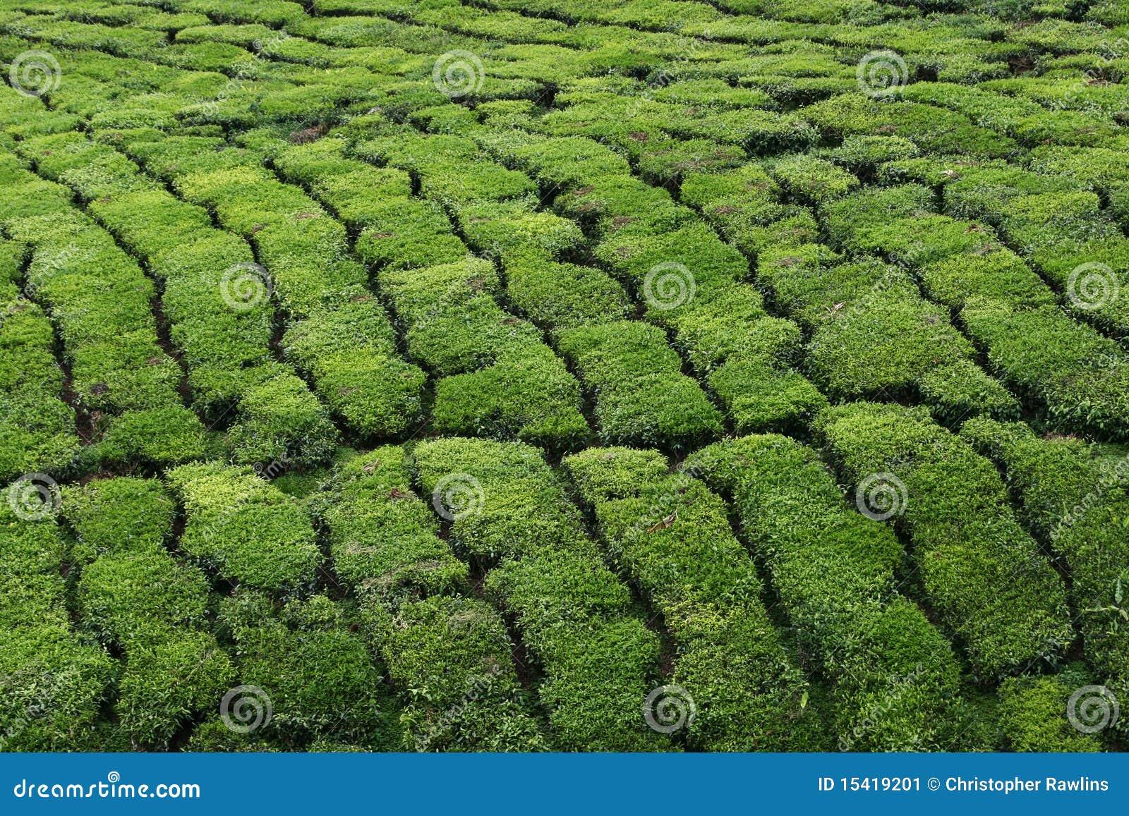 Tea Plantation - Close Up