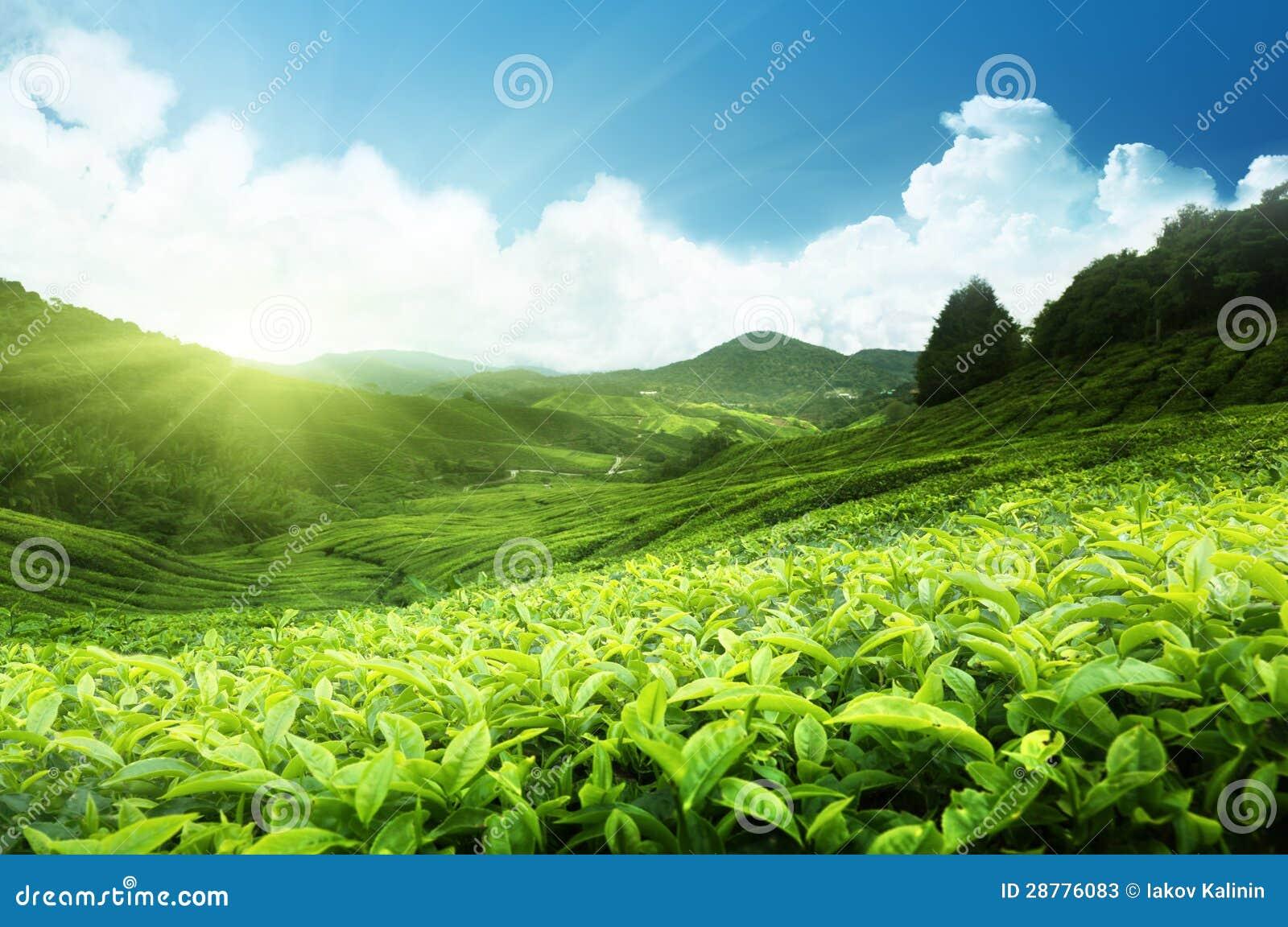 Tea plantation malaysia stock image image of agriculture for 1161 highland terrace
