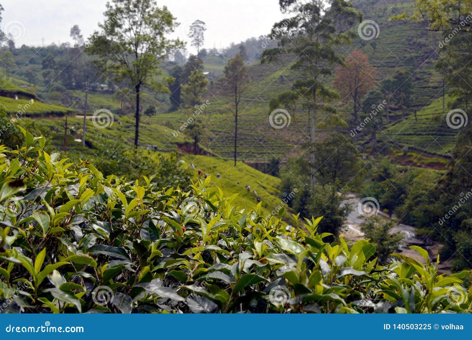 Tea plantation in Sri Lanka