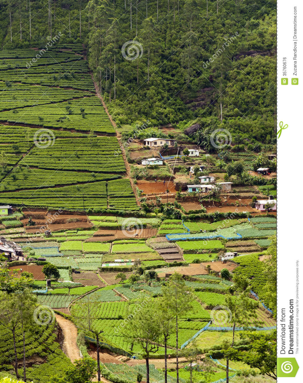 Tea plantation and vegetable gardens sri lanka royalty free stock image image 35760676 - Countryside dream gardens ...