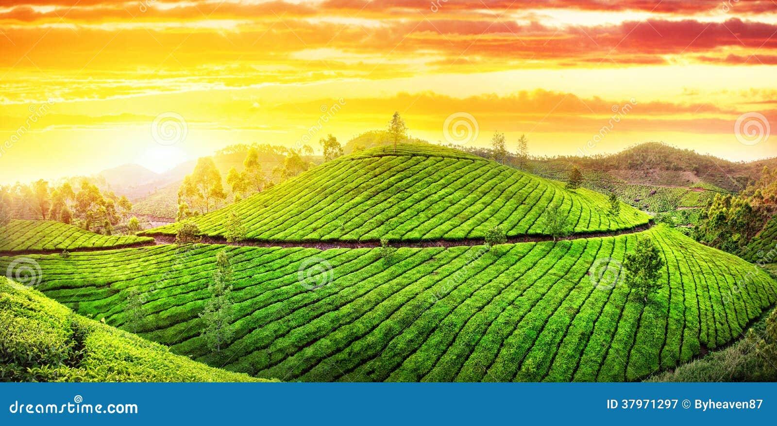 Tea Plantations Panorama Royalty Free Stock Photography ...