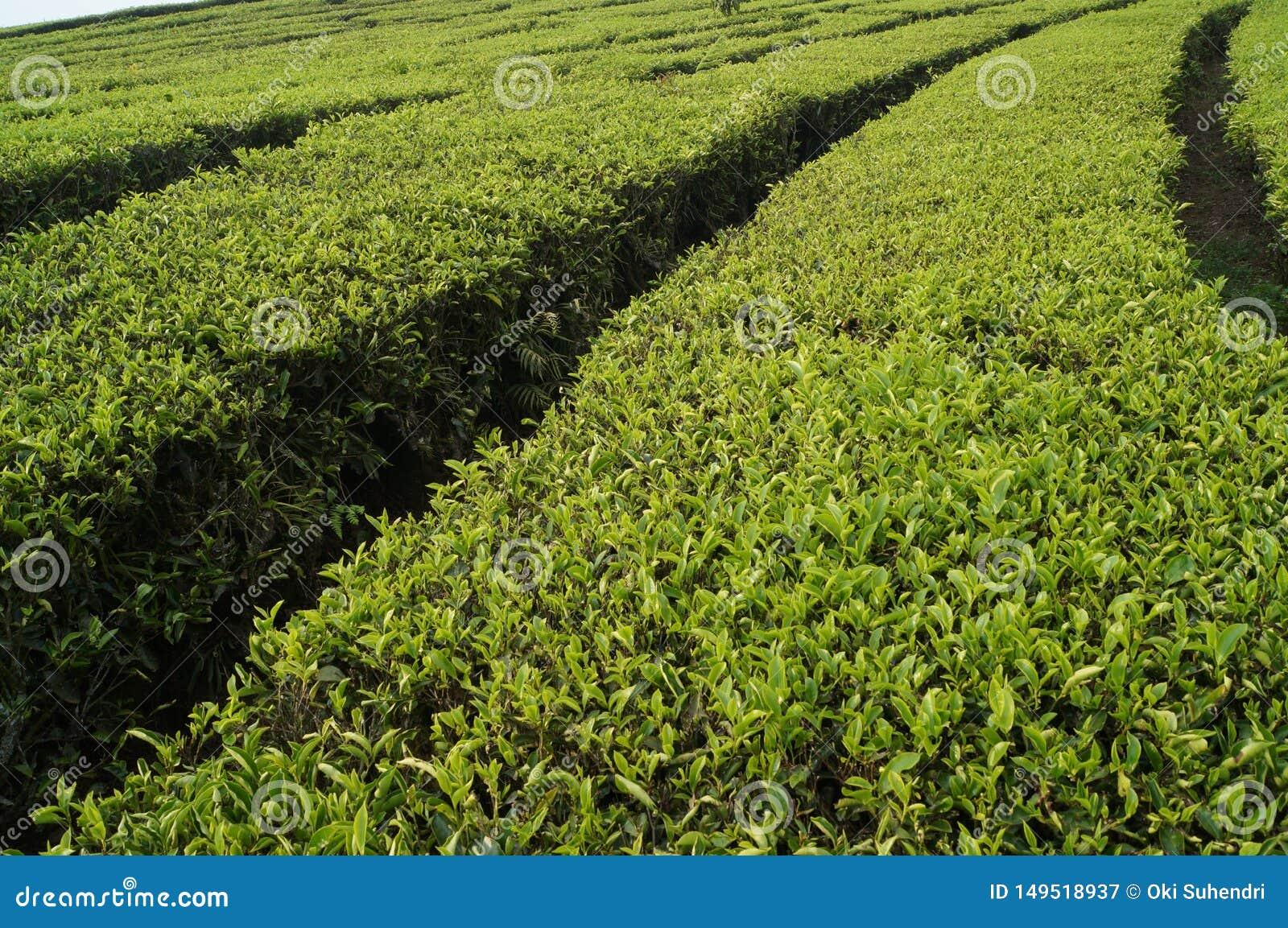 Tea plantations walini, Ciwalini, Bandung, indonesia