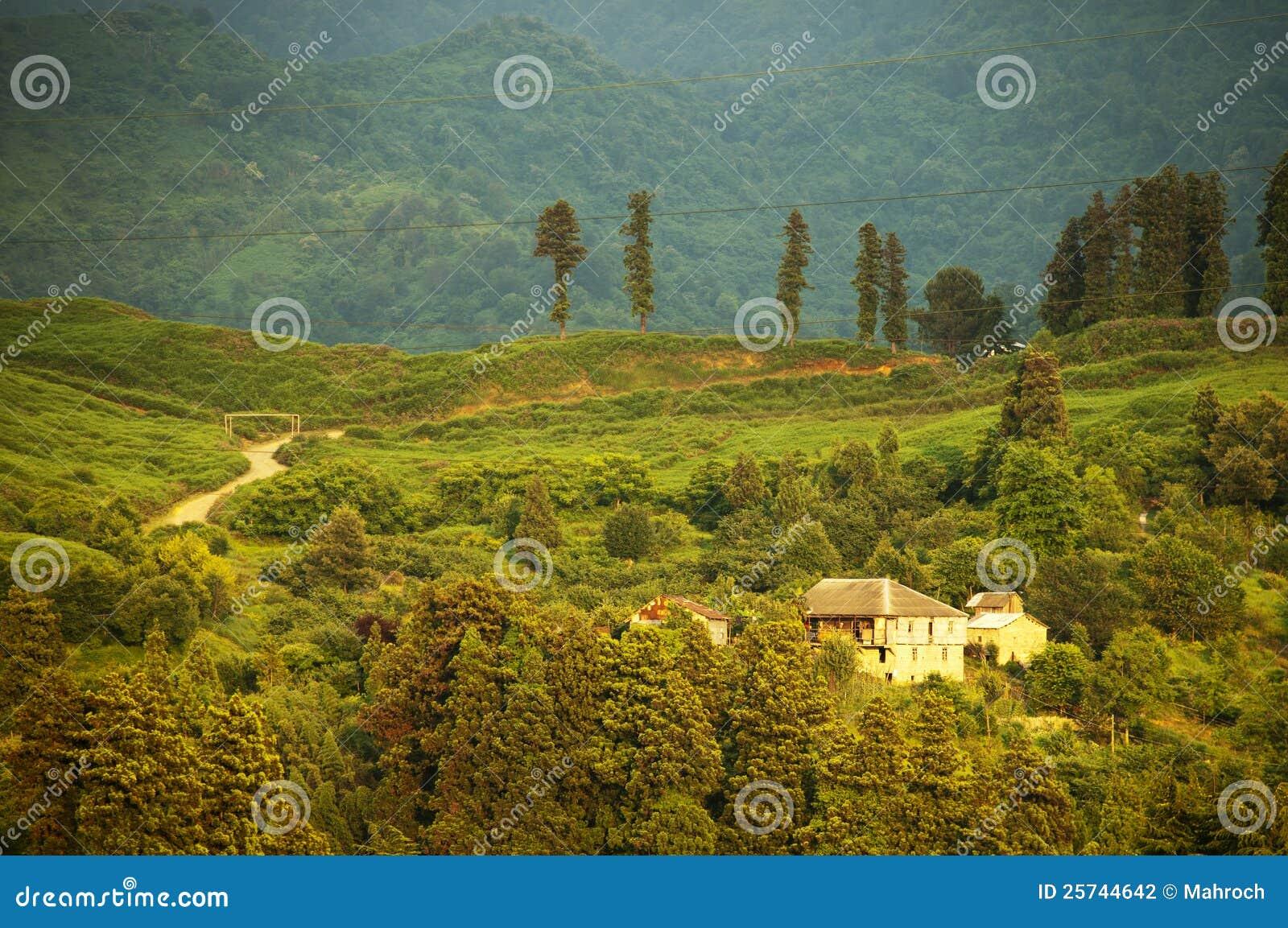 Tea tree fields near Batumi, west Georgia