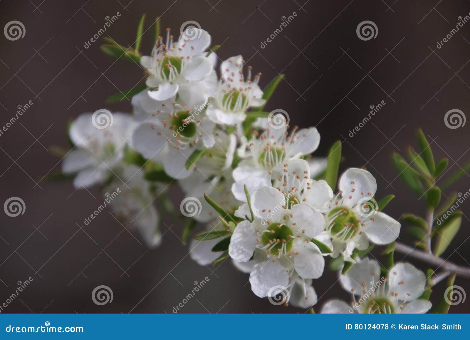 Tea Tree White Flowers Stock Photo Image Of Cardwell 80124078
