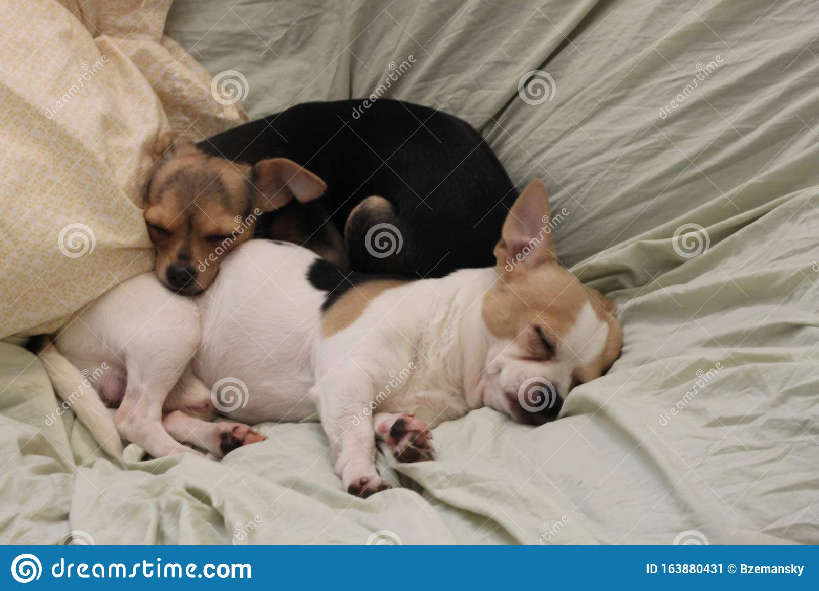 Teacup Chihuahua Dogs 1101 Stock Image Image Of Friend 163880431