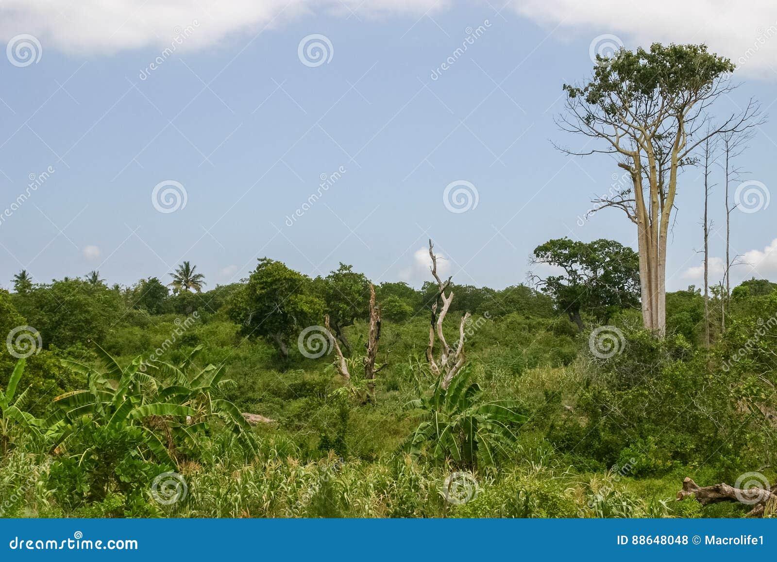 Teakholzbaum  Teakholzbaum stockfoto. Bild von palme, tier, gebäude - 88648048