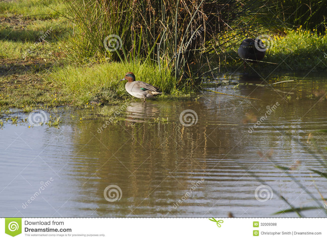 Teal Duck Royalty Free Stock Photos Image 32009388