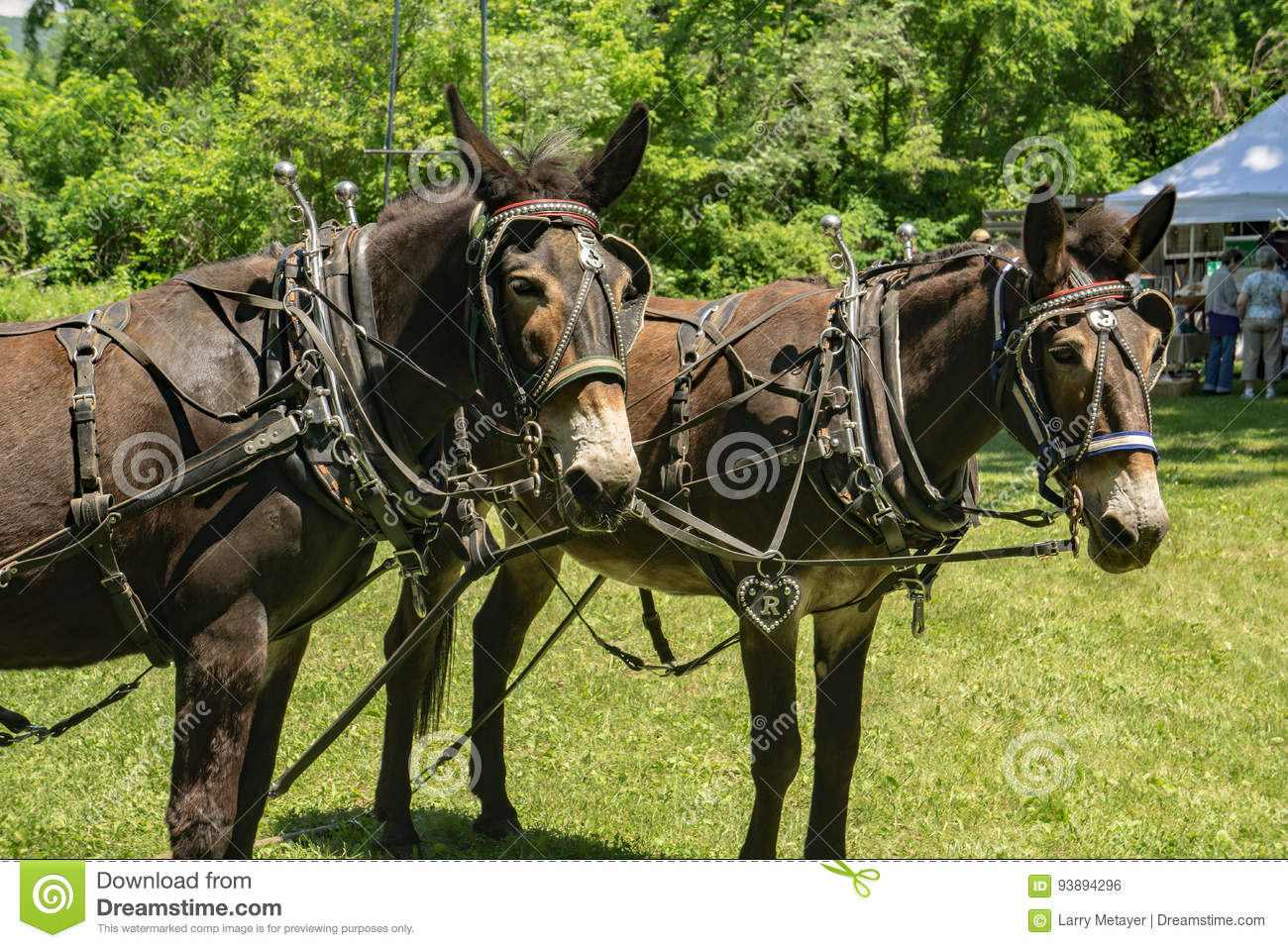 Team Of Draft Mules In Harness Editorial Photo Image Of Farm Heritage 93894296