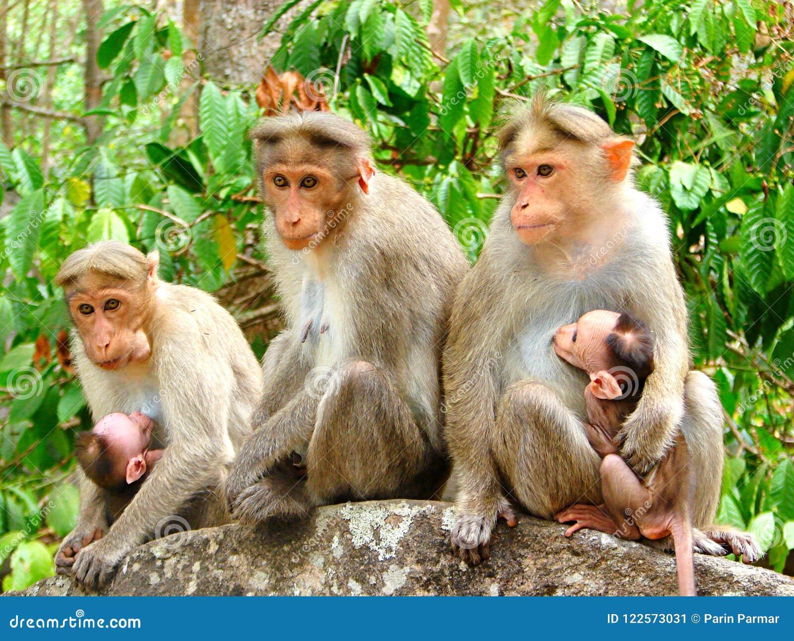 Team Monkey - espressioni facciali differenti - gruppo di macaco del reso - Macaca Mulatta