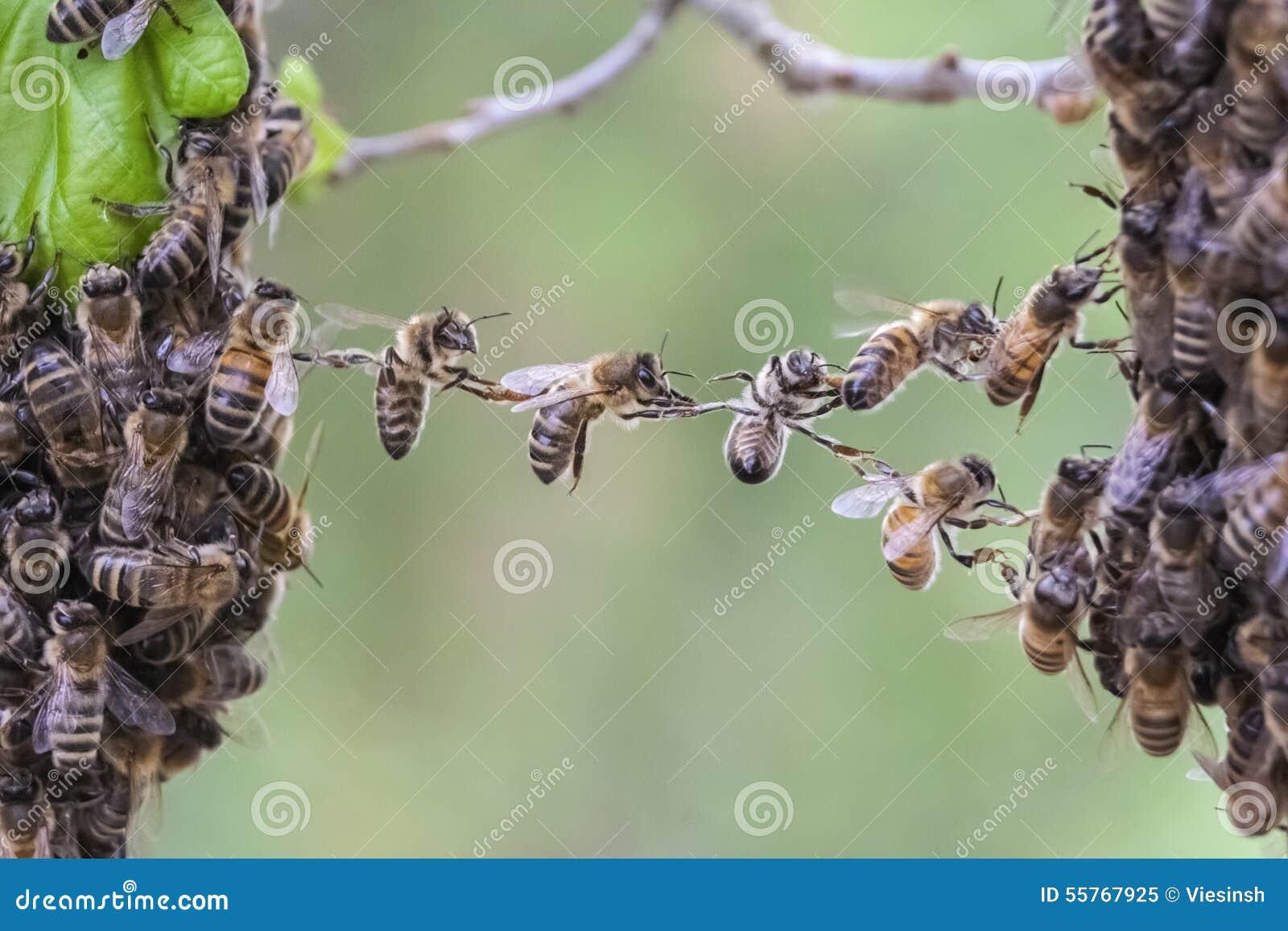 Teamwork av bin överbryggar ett mellanrum av bisvärmen