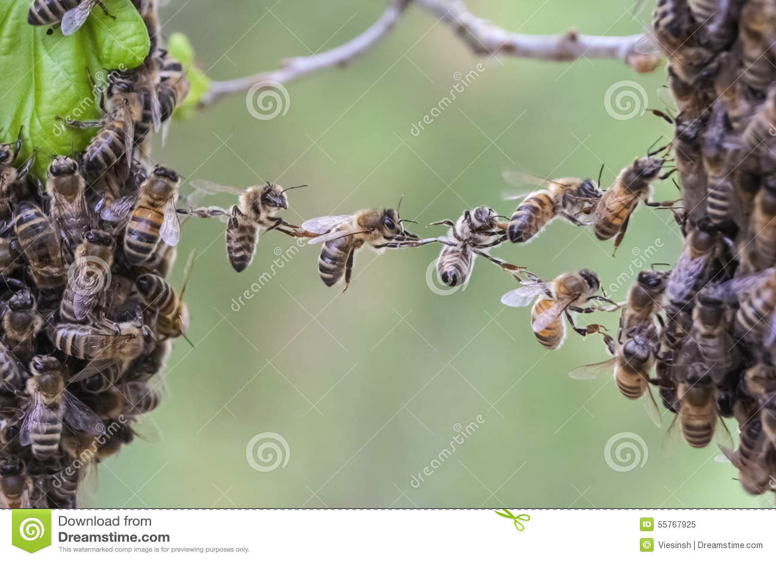 Teamwork of bees bridge a gap of two bee swarm parts.