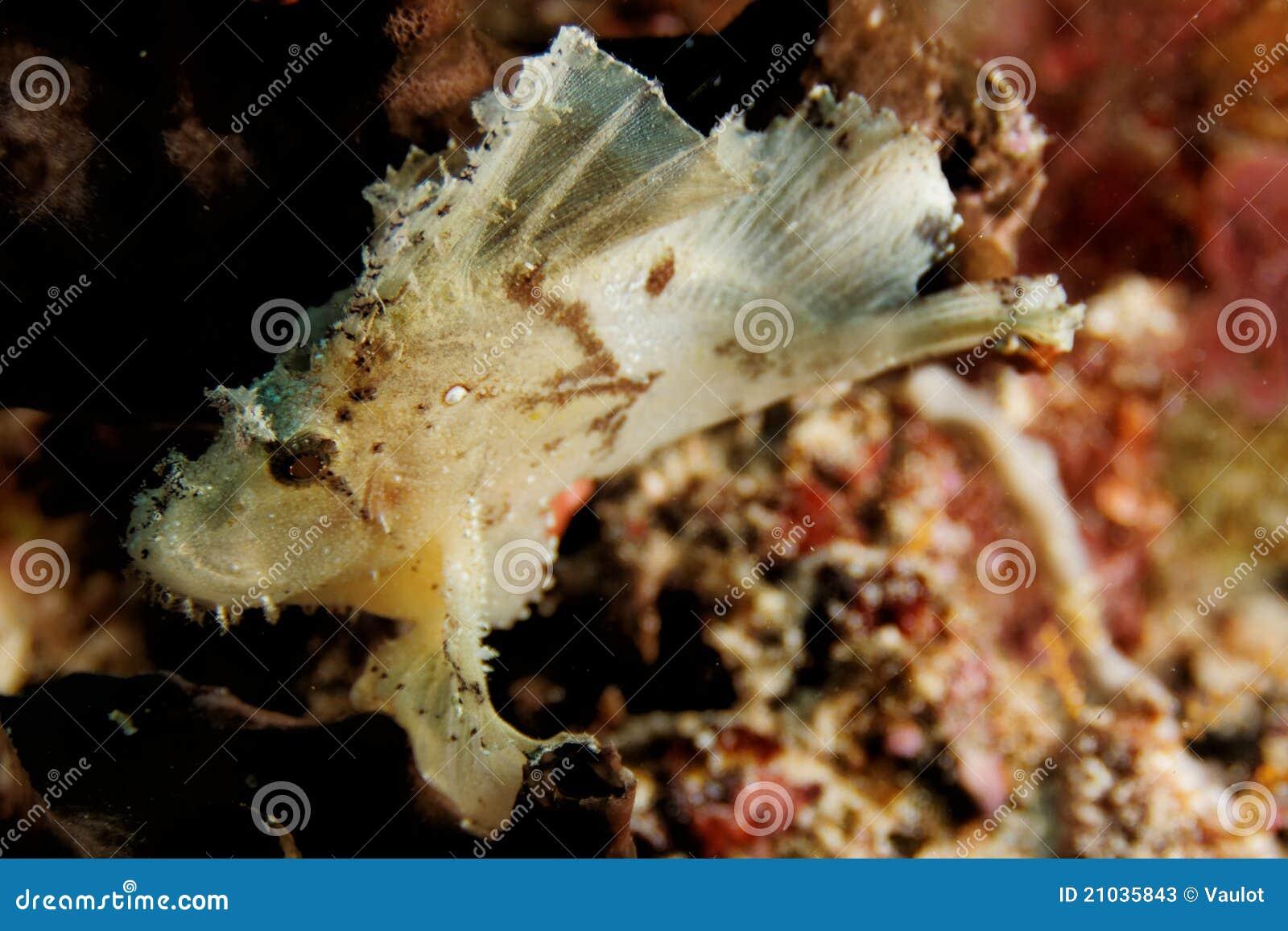 Teanianotius triacanthus - Liść skorpionu ryba