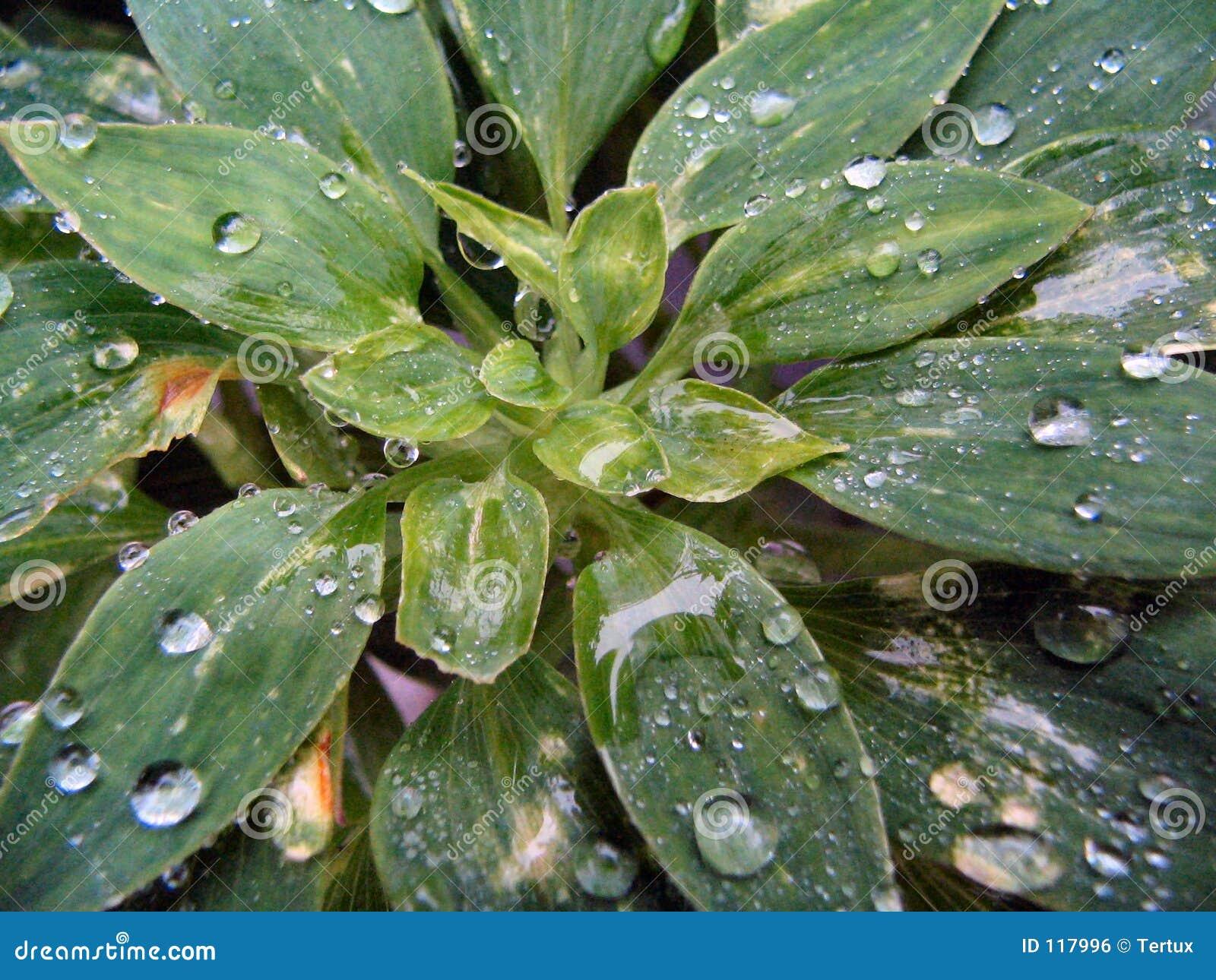 Tear drops on plant
