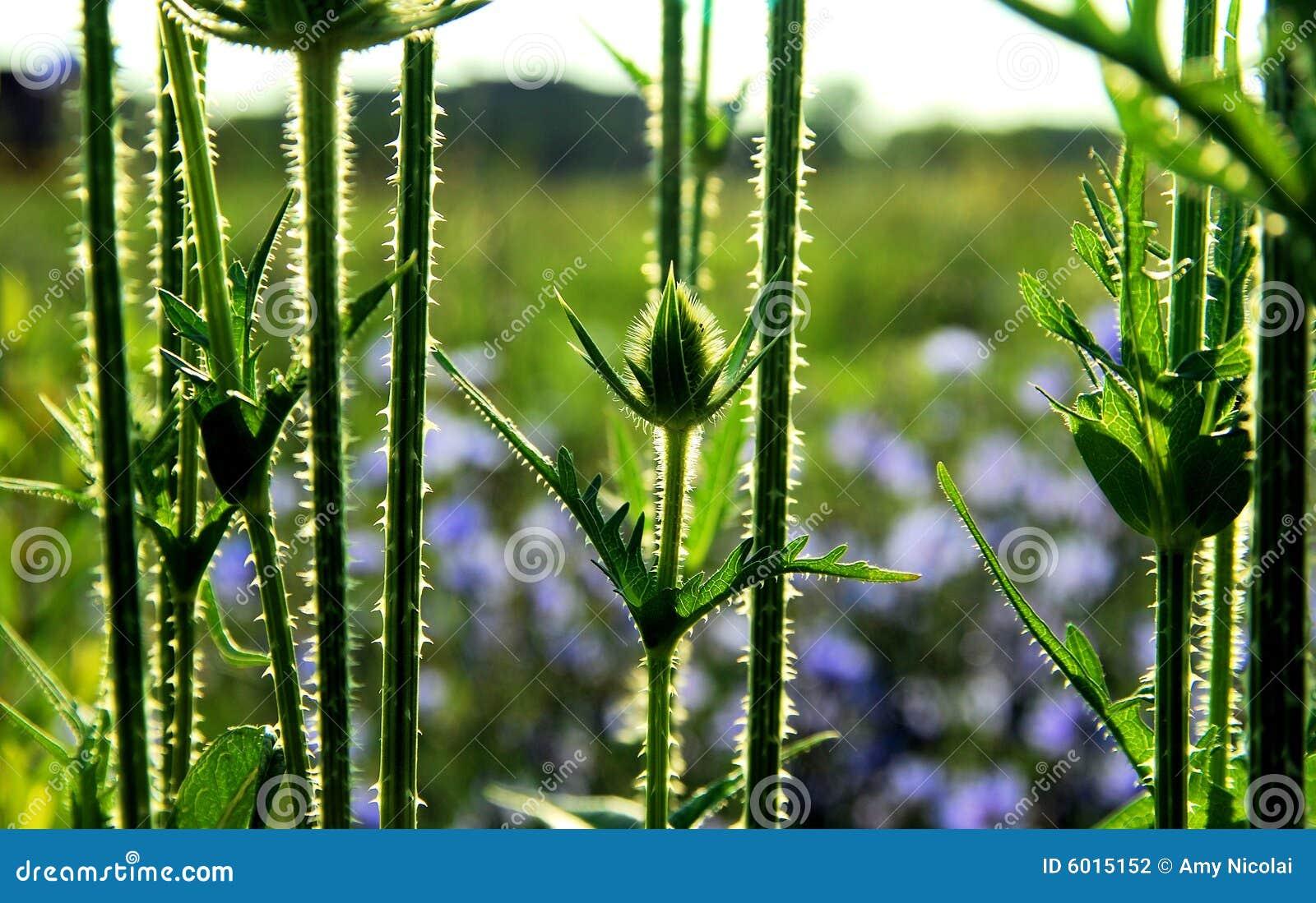 Teasel bud and stems