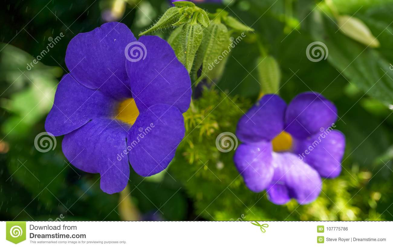 Blue Sky Vine Flowers In A Zoological Garden Stock Photo Image Of