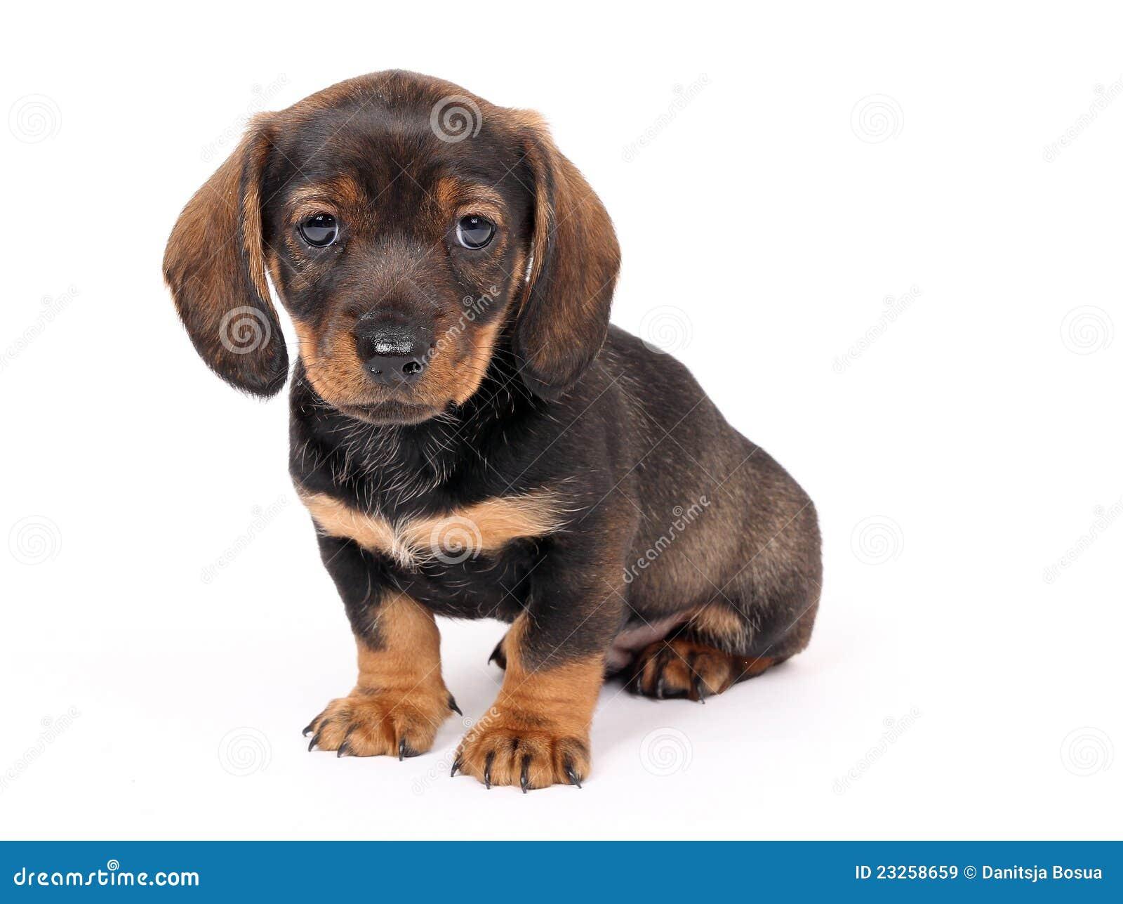 Dog Teckel Puppies
