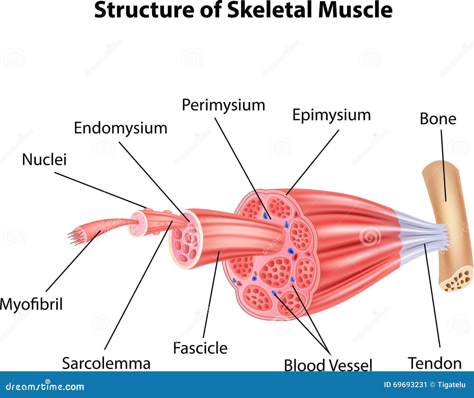 Großzügig Muskeldiagramm Gekennzeichnet Ideen - Menschliche Anatomie ...