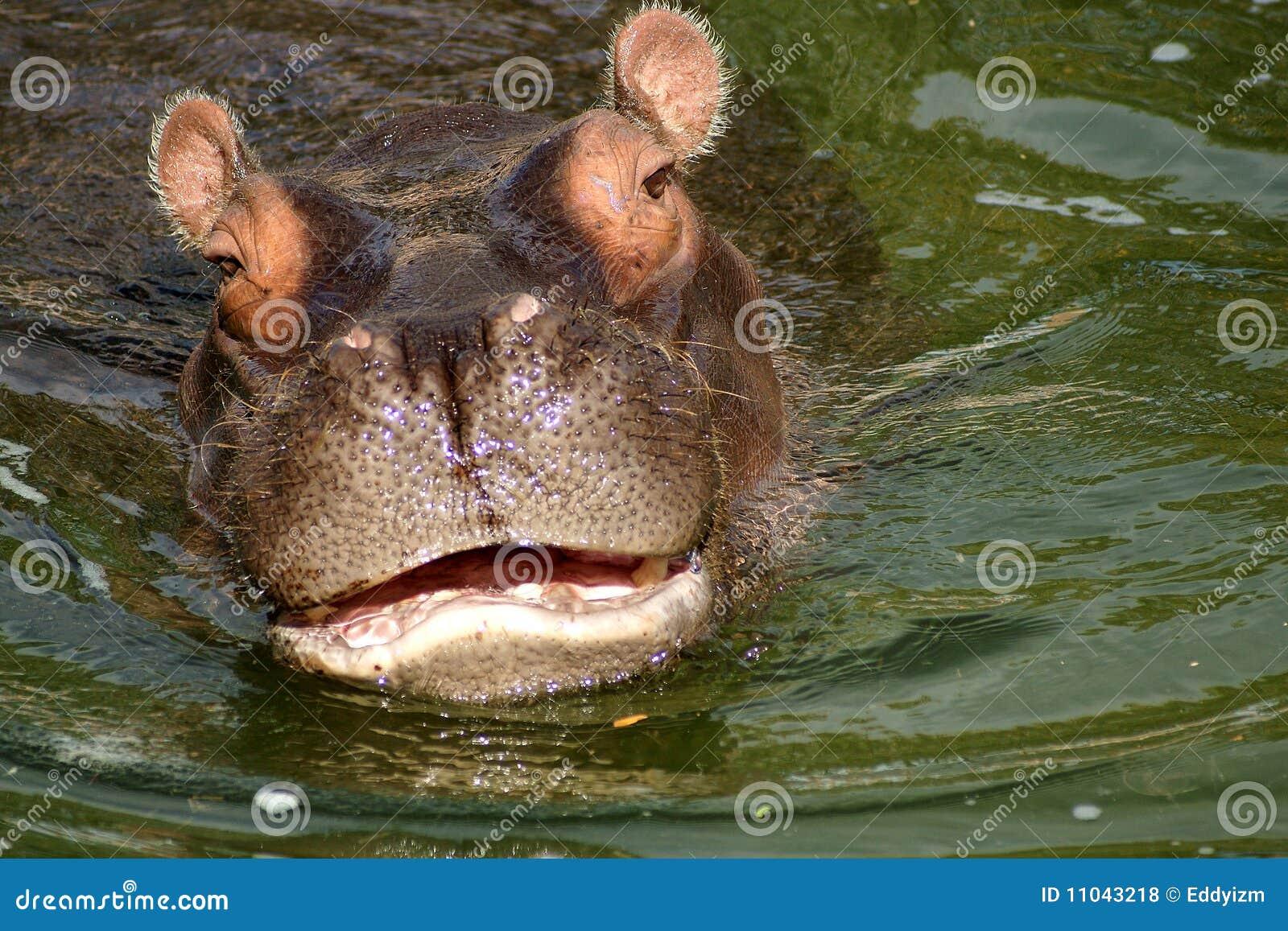 Tecknar flodhäst nära