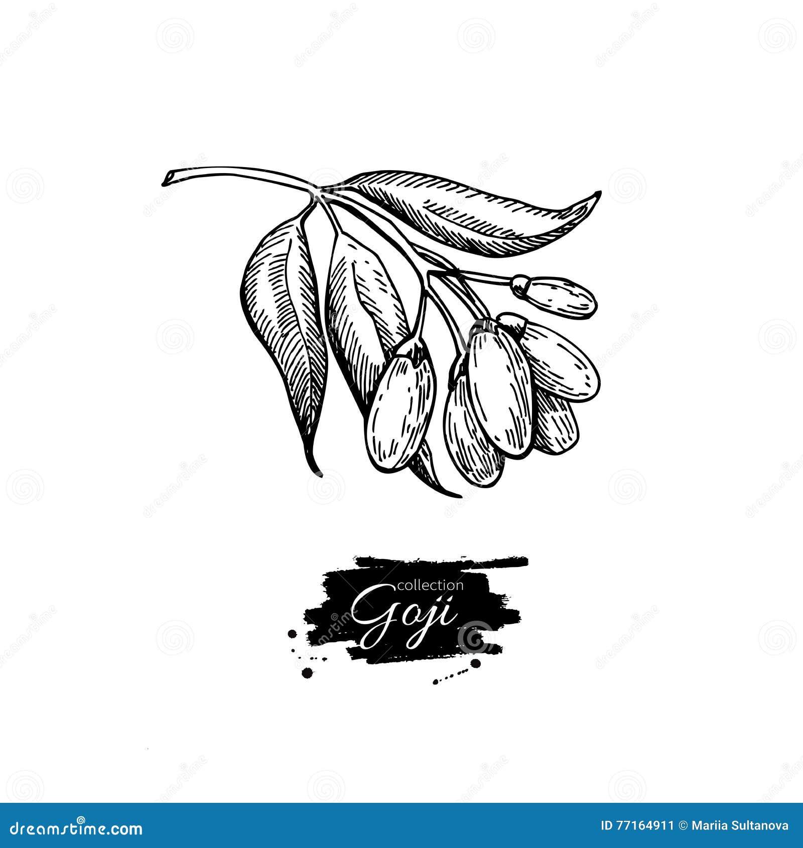 Teckning för Goji bärsuperfood Hand dragen illust