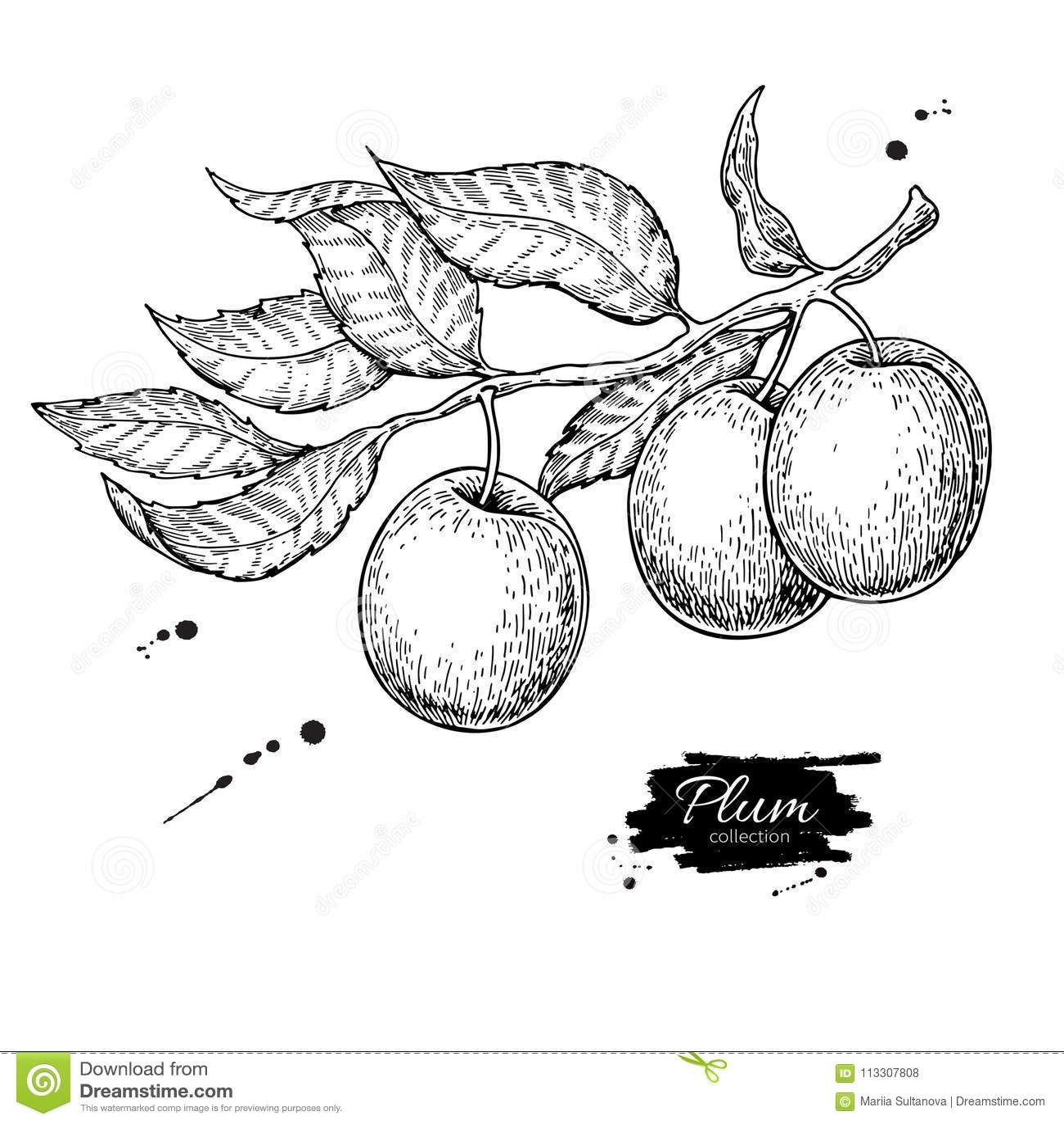 Teckning för plommonfilialvektor Hand dragen isolerad frukt Sommar fo