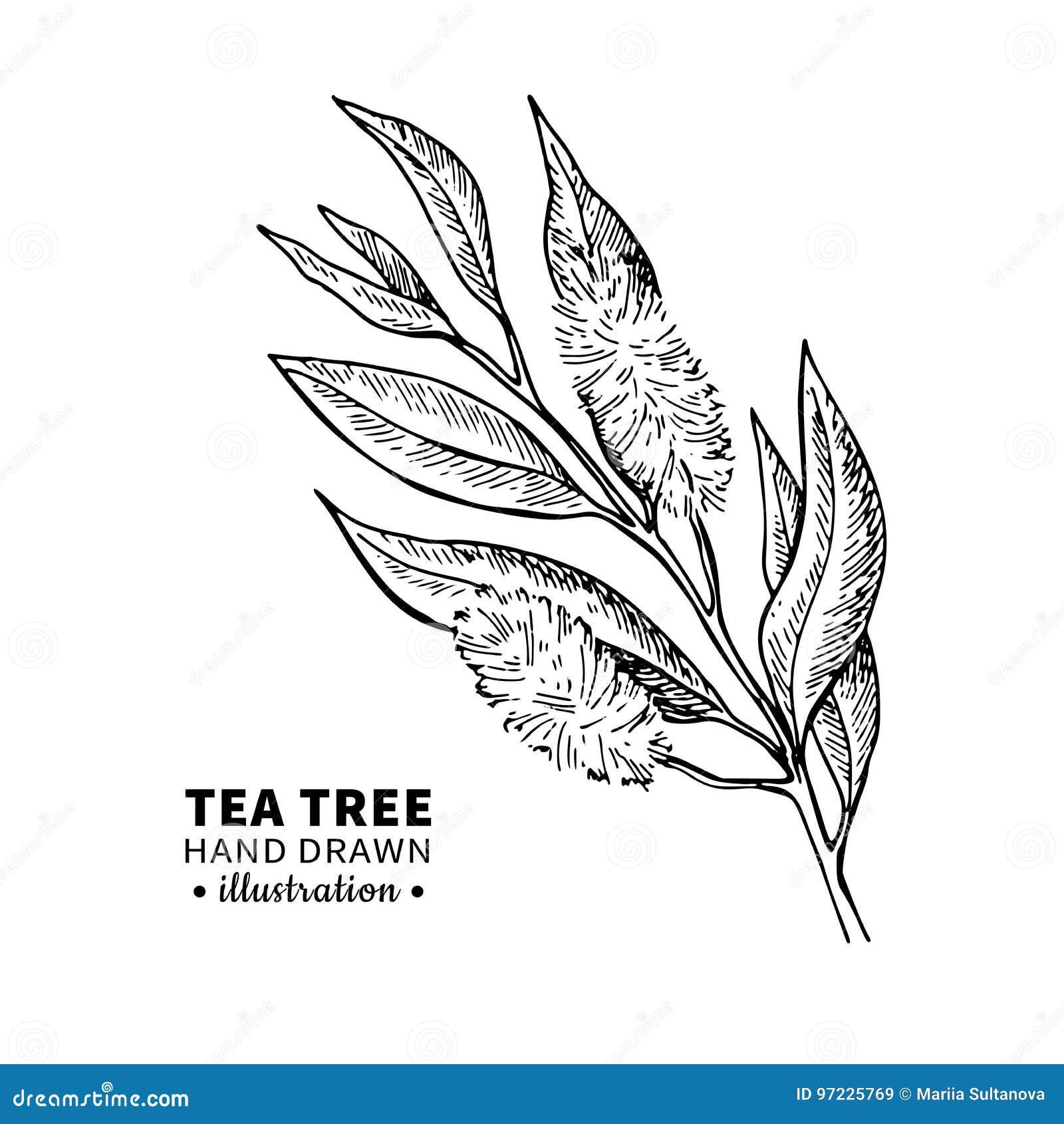 Teckning för teträdvektor Isolerad tappningillustration av medicinska växtsidor på filial