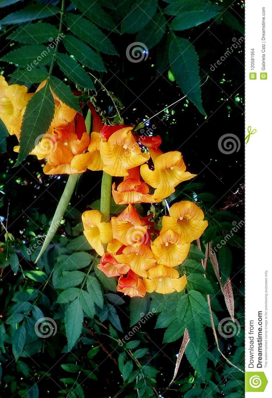 Golden Yellow Trumpet Shaped Flowers Stock Photo Image Of