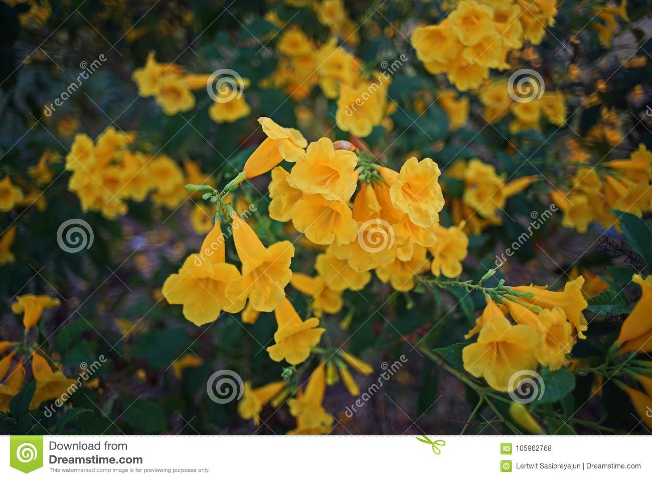 Tecoma stans a species of flowering shrub in the trumpet vine tecoma stans a species of flowering shrub in the trumpet vine family bignoniaceae common names are yellow trumpet bush yellow bells yellow elder mightylinksfo