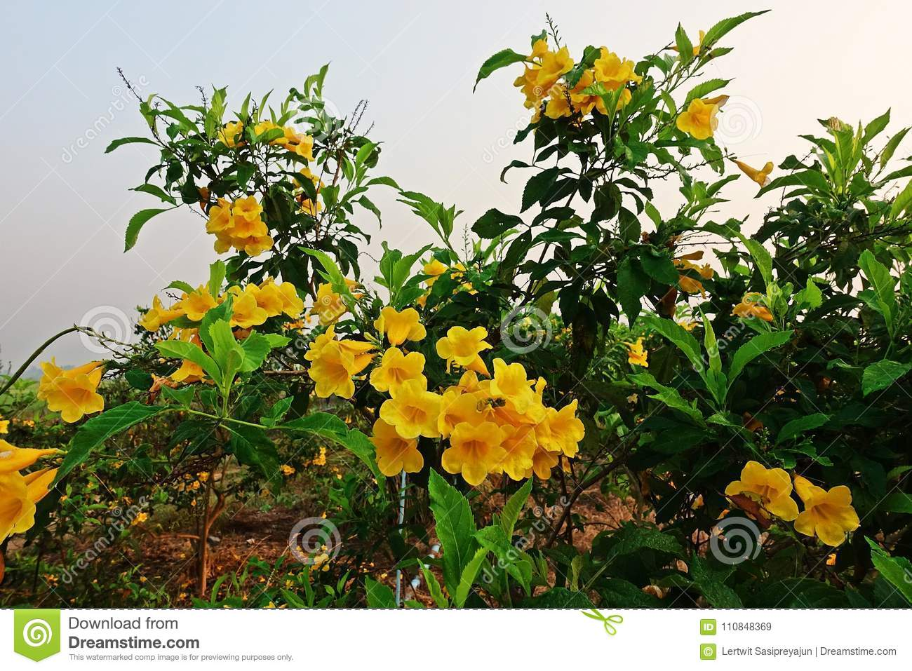 Tecoma stans a species of flowering shrub in the trumpet vine family tecoma stans a species of flowering shrub in the trumpet vine family bignoniaceae common names are yellow trumpet bush yellow bells yellow elder mightylinksfo