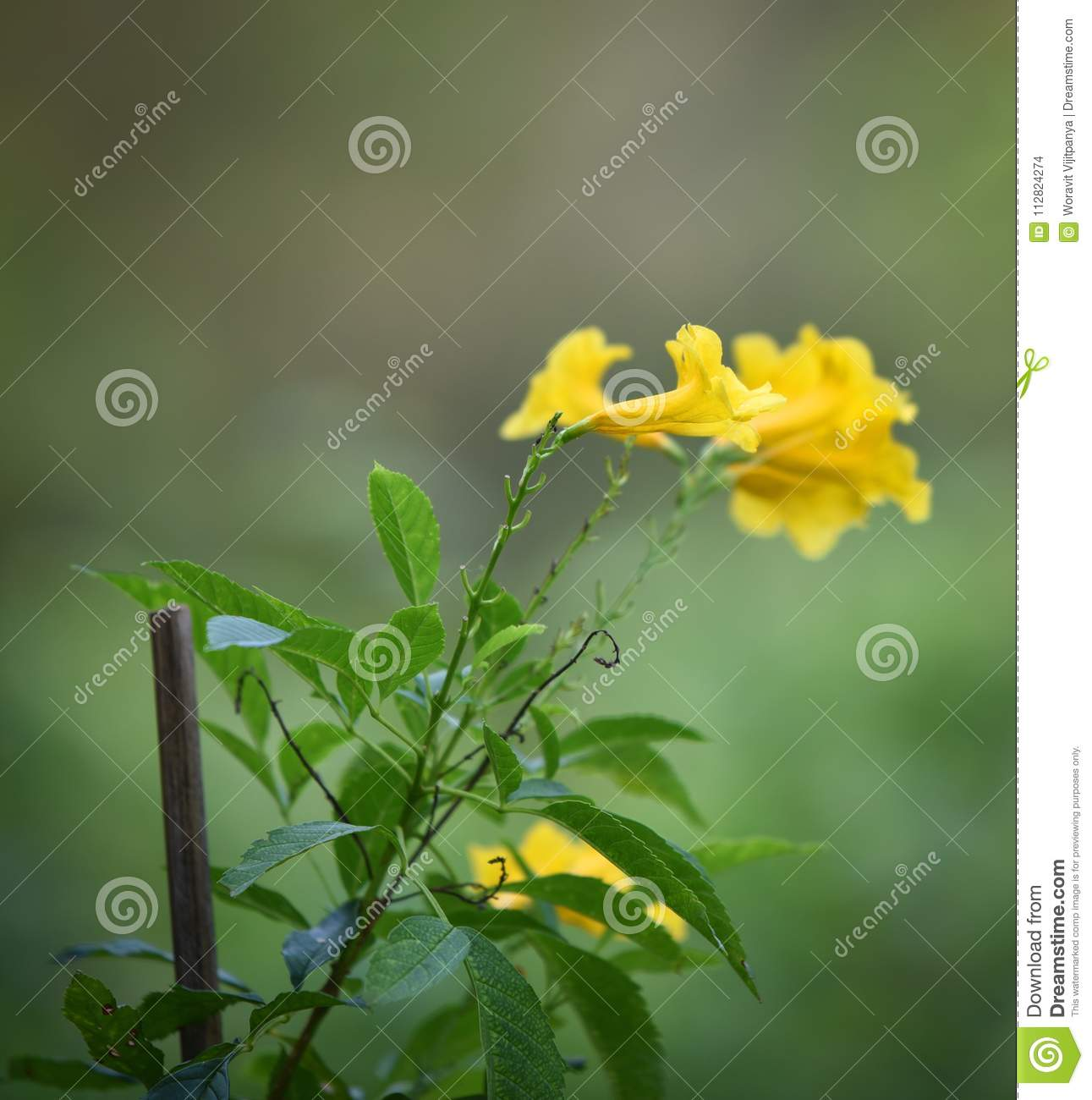 Tecoma Stans Yellow Elder Flower Stock Photo Image Of Idyllic