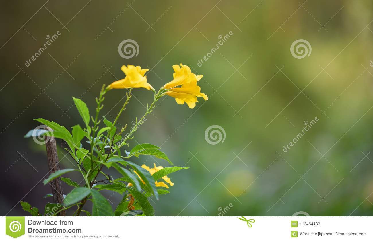 Tecoma Stans Yellow Elder Flower Stock Image Image Of Gold