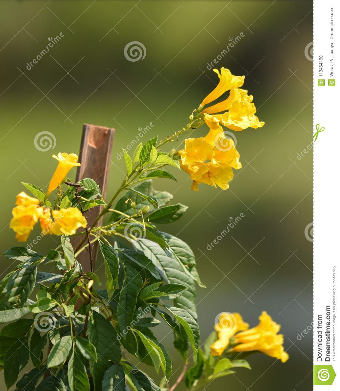 Tecoma Stans Yellow Elder Flower Stock Photo Image Of Gardening