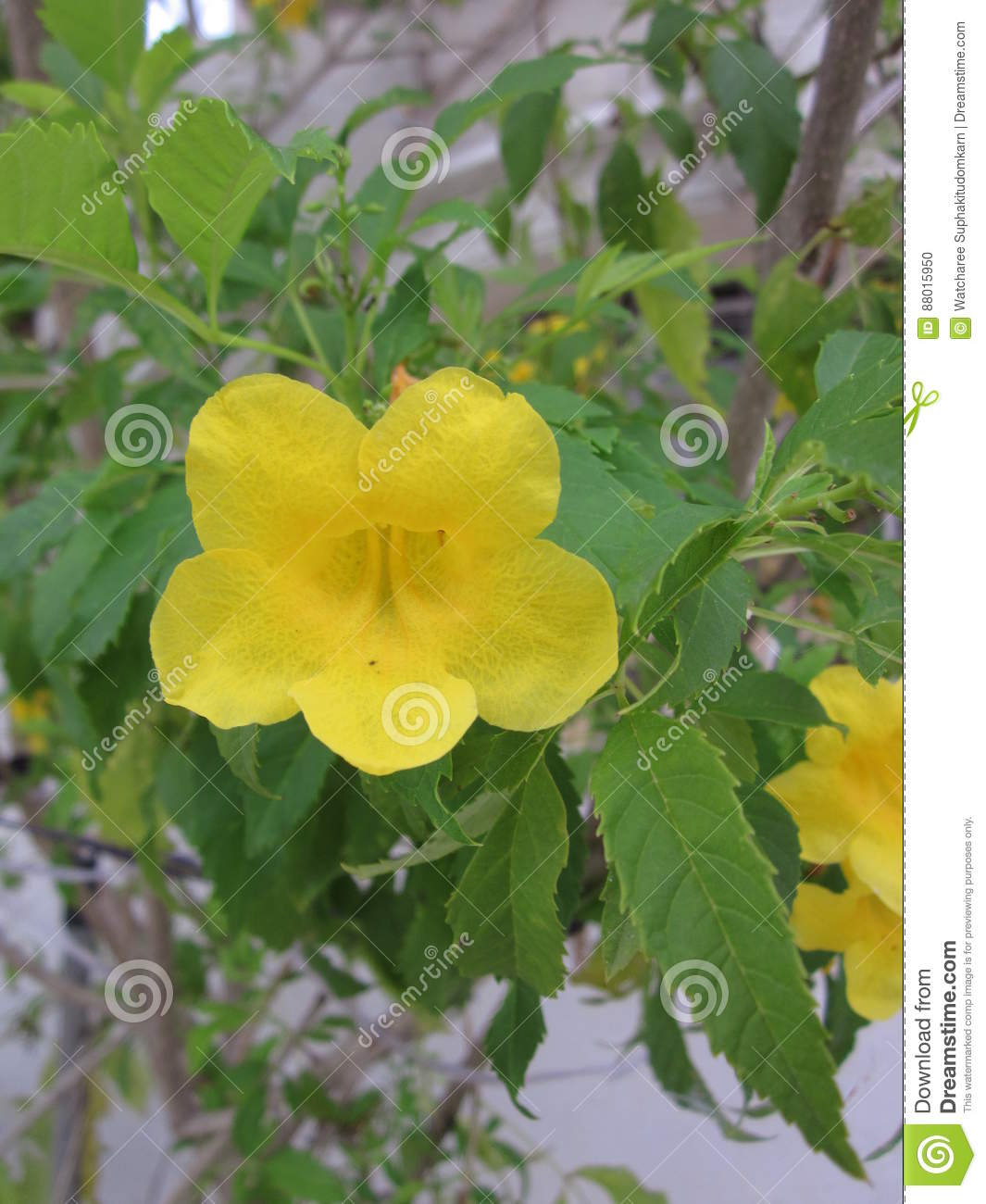 Tecoma stans or yellow trumpetbush or yellow bells flower stock download comp mightylinksfo