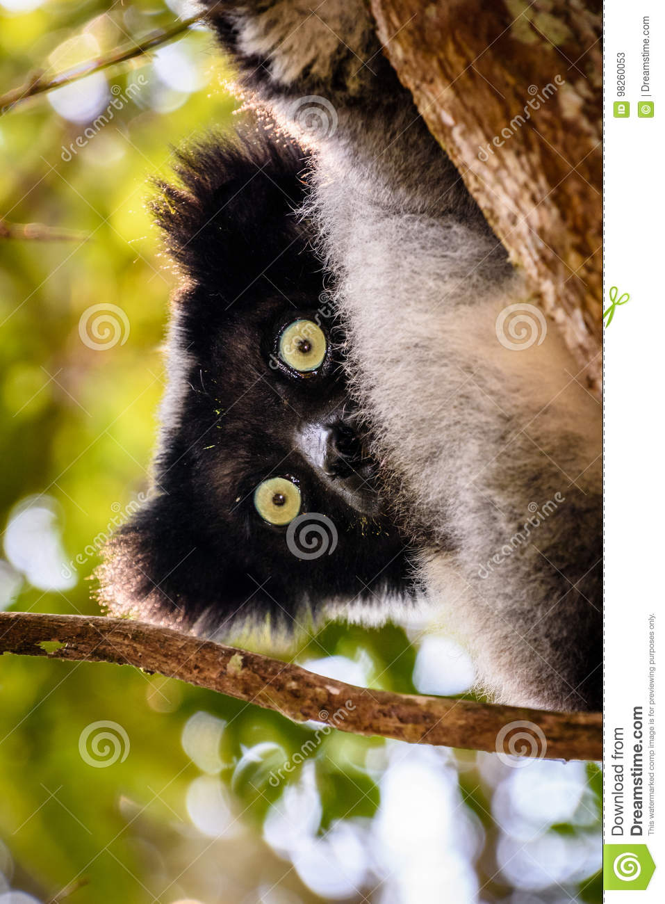 Lemurs   are found in   #  Madagascar   and nowhere else in the ...